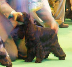 Bastien z Vejminku at CRUFTS 2008 in Birmingham under Mrs Sue Young (Cannyon)
