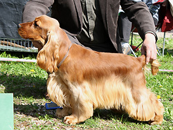 Robin Hood z Vejminku - Exc. I., CAJC, Best junior dog