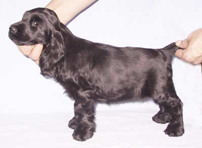Briketka z Vejminku at 10 weeks owned by Dermott kennel