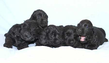 B - litter at the age of five weeks.