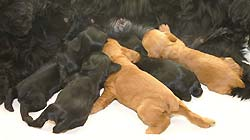 J - litter, born 26.07.2007. Two golden girls and three black boys by Cowboy z Vejminku out of Valentine z Vejminku