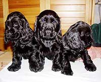 Gemma´s puppies at the age of eight weeks.